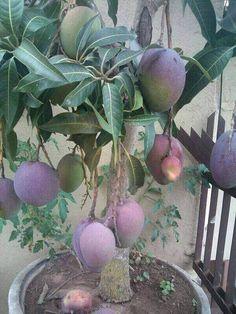 Fruit Plants, Fruit Garden, Edible Garden, Fruit Trees, Vegetable Garden, Garden Plants, Exotic Fruit, Exotic Plants, Mango