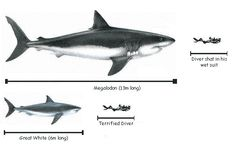 pictures of megalodon compared to great white - Yahoo Search Results Yahoo Image Search Results Megaladon Shark, Shark Facts, Underwater Sea, Bait And Tackle, Life Aquatic, Prehistoric Creatures, Shark Week, Sea Monsters, Big Fish