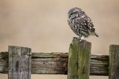 A Little on the fence by mank74 A Little Owl hunting from a fence on a farm #animal #art #photography
