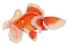 Tosakin (Tosa) Origin This very difficult to groom top view fish was developed in Japan before 1868. The exact method of development is unclear, a cross between a Ryukin and a Osaka Ranchu or it is a direct mutation of a Ryukin. © Merlin Cunliffe 2016 Breed Development Raising this fish for show is most difficult. Tosakin require shallow, clean water, usually are grown in individual containers or compartments and selection of what fish to work with at young age. Tails are fused. As the fish…