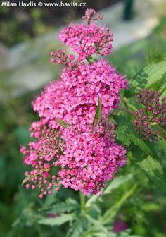 tavolník - Spiraea x bumalda Plants, Red, Garten, Planters, Plant, Planting
