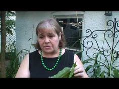 How to Make a Plantain Poultice -That Could Save Your Life - YouTube