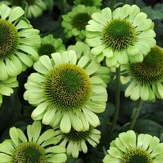 Echinacea Green Jewel produces beautiful, scented foliage on a plant with shot, sturdy, upright stems. Its mystical green petals exist around a large green cone. This hardy perennial will flower from July to September and prefers well drained soil. Height: 60cm. Spread: 60cm