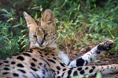 Zoey Serval | Carolina Tiger Rescue Birthday Cake For Cat, Birthday Cakes, Serval Cats, Cats Eye Stone, Raptors, Cat Toys, Predator, Giraffe, Cute Animals
