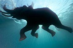 Un elefante se baña en el mar de Andamán, India
