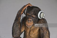 Stockfoto : Chimpanzee wearing headphones