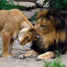 Lion loving