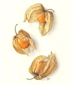 Sally Jane Perrin – The Society of Botanical Artists-Physalis. Illustration Botanique, Garden Illustration, Watercolor Fruit, Watercolor Flowers, Drawing Flowers, Botanical Drawings, Botanical Prints, Botanical Flowers, Fruits Drawing