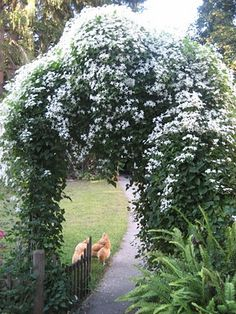 this is a beautiful late blooming clematis. so big and fluffy.