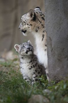 A three-month-old snow leopard cub looks up adoringly at its mother as he makes his debut at the Brookfield Zoo, Illinois. There are an estimated 3,500 to 7,000 of the endangered leopards remaining in the wild. (Photo by Scott Olson/Getty Images). .