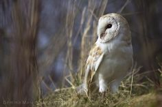500px / Amongst the grass. by Gemma Malenoir (C) Gemma Malenoir Photography 2013 Pretty barn owl Screech owl sanctuary, Cornw