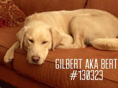 Gilbert is an 18mo old yellow male. He is up to date on is shots and heartworm positive; Lab Rescue will pay for his treatment. He is good with other dogs and is approved for kids aged 10 and up. He weighs 69 lbs. He is very loving and wants to be with you and get attention. He knows some commands but like all young labs he needs additional training. He pulls a bit on a lead but settles down after a few minutes. #labs #adopt #labrescue