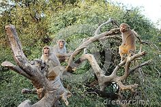 Three Macaca Monkeys sit in an old dead tree playing and shaking the branches. They take a break to pose for the camera. Taken in Govardhan area of North India Macaque Monkey, North India, Pose For The Camera, Hanuman, Monkeys, Branches, Mammals, Tatoos, Poses