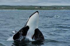 Male Orca - Schoenies - Port Elizabeth - South Africa 2012