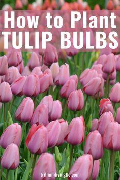 Tulips Garden, Garden Bulbs, Tulips Flowers, Autumn Garden, Easy Garden, Spring Garden, Planting Tulip Bulbs, Planting Flowers, How To Plant Tulips