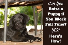 how to raise a puppy if you work full time written beside a black lab puppy sitting under a garden chair Puppies Tips, Best Puppies, Puppy Training Schedule, Labrador Facts, Puppy Sitting, Black Lab Puppies, Getting A Puppy, Dog Shampoo, New Puppy