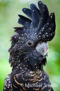 Red-tailed Black Cockatoo (Calyptorhynchus banksii) native to Australia by Michael Snedic via Birds FB