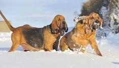Afbeeldingsresultaat voor farlap bloodhounds