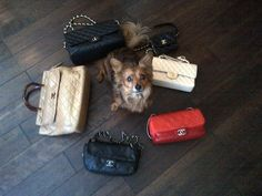Blanche surrounded by my friend Jen's Chanel purses