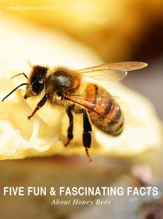 5 fun facts about bees. Did you know honey bees are eusocial insects? They live within an organized societal structure that involves subsequent generations, they cooperate in raising and caring for brood, and they fairly divide up labor. Fun Facts About Bees, Honey Bee Facts, Buzzy Bee, Raising Bees, I Love Bees, Backyard Beekeeping, Save The Bees, Bee Happy, Bees Knees