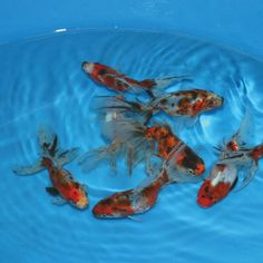Calico Fantail Goldfish - Medium