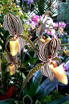 Pin-stripes in Nature. Who knew? ;) beautiful orchid