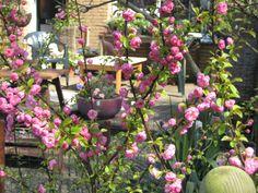 Het voorjaar begint.....in een roze wolk van bloemen
