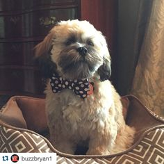Always the best dressed pup on my feed, polkadots were made for him! #dogsofinstagram #etsy #etsyshop #etsyseller #Repost @buzzbryan1 with @repostapp. ・・・ Got a new bow tie from @thruffty_pup Happy Sunday...#bentley #lhasaapso #puppy #pupstagrams #petsofinstagram #wagaware #thRUFFtyPup #sundaybest #excellent_dogs #tomismyfriend