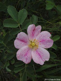 ~Prairie Rose (Rosa arkansana)