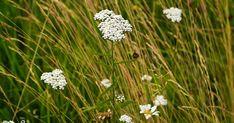 Řebříček je bylinka všem dobře známá, má rád suchá a slunná místa, roste i ve spárách dlažby a na úhorech. Lidově se mu říkalo také husí jaz... Dandelion, Flowers, Plants, Garden, Garten, Dandelions, Planters, Royal Icing Flowers, Gardening