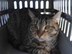 FUSSY - A1049007 - - Brooklyn ***TO BE DESTROYED 08/28/15*** PERFECTLY HEALTHY 2 YEAR OLD FUSSY WILL NOT BE FUSSY IF YOU RESCUE HER TONIGHT – SHE NEEDS IMMEDIATE HELP TO AVOID DEATH AT NOON! FUSSY and her pal SMOKEY( A1049007) were strays who were dumped in the kill happy shelter. FUSSY is already SPAYED, which gives us the inclination to believe she is really an abandoned pet. FUSSY is afraid and not allowing handling at the moment and needs a place where she can re