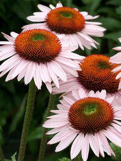 Echinacea purpurea Hope