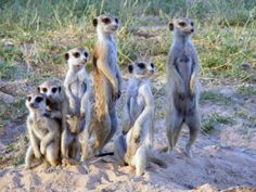 New research suggests that meerkats may recognize individuals within their group from their calls. Scientists conducted an experiment where either (1) calls from two different individuals or (2) two calls from the same individual were simultaneously played in two locations. They found that meerkats reacted more strongly to the impossible scenario (calls from one individual in two locations) suggesting that they can discriminate between calls made by different members of their group.