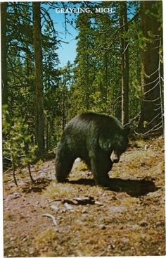 This cute postcard showing a black bear is from Grayling Michigan Unused Grade 1 Note image for more information. Black Bear, Brown Bear, Grayling Michigan, Woodland Forest, Northern Michigan, Teddy Bears, Ephemera, Woods, Hunting