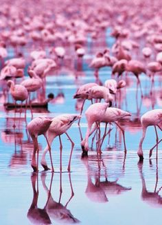 Flamingos are a type of wading bird that live in areas of large shallow lakes, lagoons, mangrove swamps, tidal flats, and sandy islands. Flamingos are famous Beautiful Birds, Animals Beautiful, Cute Animals, Pink Animals, Baby Animals, Pink Love, Pretty In Pink, Pink Pink Pink, Pink Color
