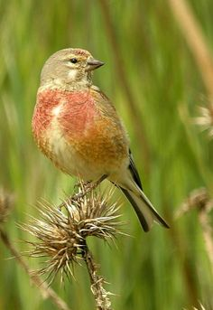 Common Linnet (Carduelis cannabina). A small migratory breeder of Europe, Asia and north Africa. Its scientific name came from its fondness for cannabis seeds. photo: Paco Ruiz.