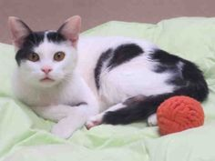 What's sweet and wonderful and something everybody loves? Cookies, of course! I think that's why they call me CC Cookie. I'm just too sweet to resist. I am a neutered male, white and black Domestic Shorthair and I am about 2 years and 4 months old. (ID#A068447)