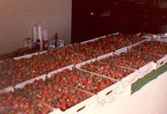 Strawberry Picking Michigan City, Indiana | Rosey's Organic Berry Farm
