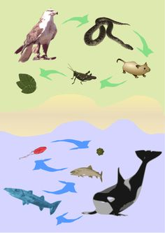 How to Learn About Biodiversity and Food Webs food chains, food web
