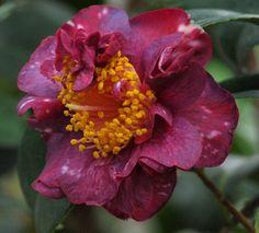 Camellia japonica 'Collettii' (Belgium, 1838)