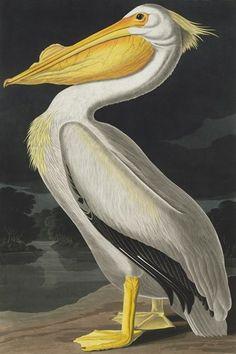 Pelecanus erythrorynchos, American white pelican