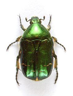 Rose chafer beetle.