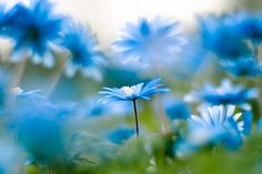 Blue daisy photograph: Club Tropicana - bright blue daisies - metallic print - fine art flower print - 12x8 - cyan and aquamarine. $40.00, via Etsy.