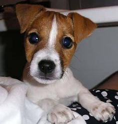 An adorable Jack Russell Terrier puppy. That face! Those eyes! Cute Baby Puppies, Kittens And Puppies, Baby Dogs, Cute Dogs, Maltese Puppies, Doggies, Chien Jack Russel, Jack Russell Puppies, Jack Terrier