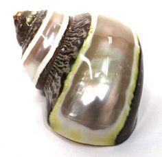 Banded Tapestry Turban Shell - Turbo Petholatus Seashells - California Seashell Company