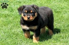Andy is a friendly Rottweiler puppy with a nice husky build. This lovable pup can be registered with the AKC and comes with a health guarantee provided by the breeder. He is vet checked and up to date on shots and wormer. Andy is socialized with children and is sure to make a great addition to any family. To find out how you can welcome home this fun-loving pup, please contact Levi today!