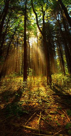 ✯ The Pines by Phil Koch