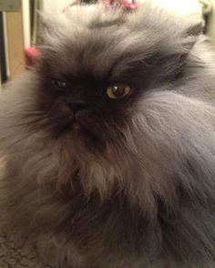 Colonel Meow, Angriest Cat In The World, Wants You To 'Spread The Frown' (VIDEO) The slide show is even better--great cat! Angry Cat, Beautiful Cat Breeds, World Domination, Grumpy Cat, Minions, Pets, Internet, God, Dios