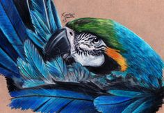 Blue & Gold macaw ~ Preening by KristynJanelle on deviantART ~ tropical art colored pencils Bird Drawings, Realistic Drawings, Animal Drawings, Costa Rica Art, Blue Gold Macaw, Black Barn, Feather Painting, Tropical Art, Color Pencil Art