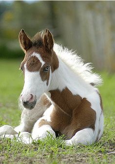 American Paint Horse western quarter paint horse paint pinto horse Gypsy Vanner Indian pony solid